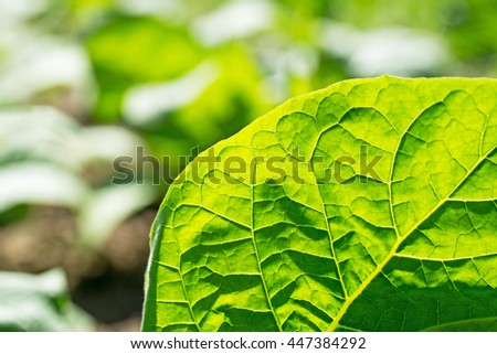Tobacco leaf on blurred tobacco plantation sunny field background, close up - stock photo
