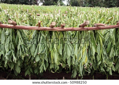 tobacco leafs drying - stock photo
