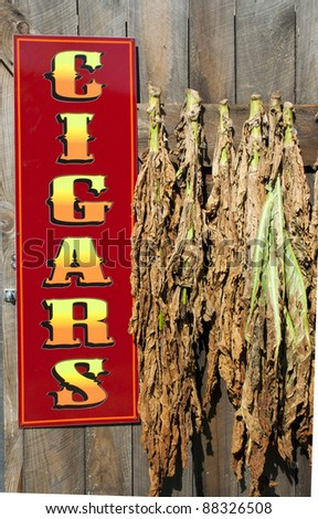 tobacco leaves hanging to dry near sign for cigars - stock photo