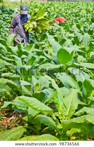 tobacco plant in plant of thailand