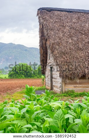 Tobacco plantation and tobacco curing barn at the famous Vinales Valley in Cuba - stock photo