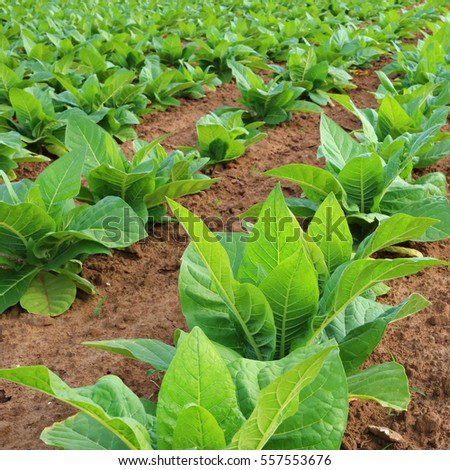 Tobacco plantation in a field