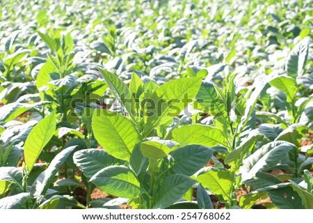 Tobacco plantation in Cuba - stock photo