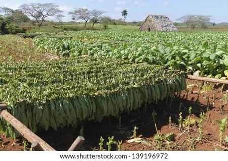 Tobacco plantation in Vinales valley, Cuba. - stock photo