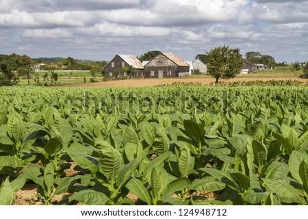 Tobacco plantation on Cuba - stock photo