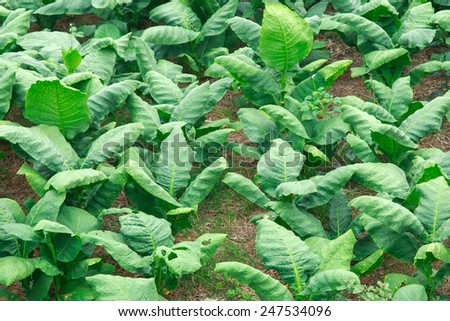 tobbaco plantation. Thailand - stock photo