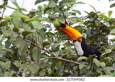 Toco Toucan eating guava fruit on guava tree - stock photo