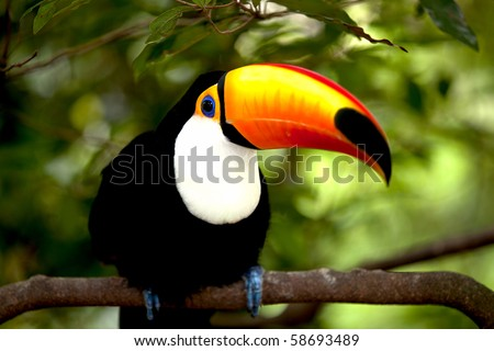 Toco Toucan in deep (Ramphastos toco) for background use - stock photo
