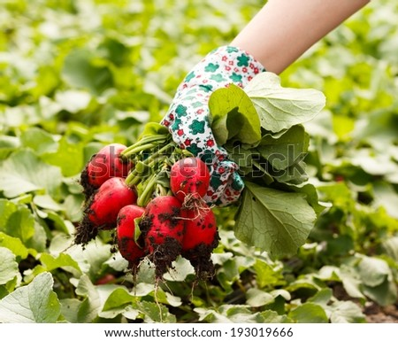 Today`s harvest - a bunch of fresh organic radish. - stock photo