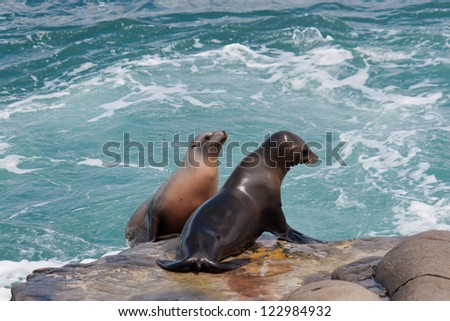 Together. Two Sea Lions on the rocks at ocean in California - stock photo