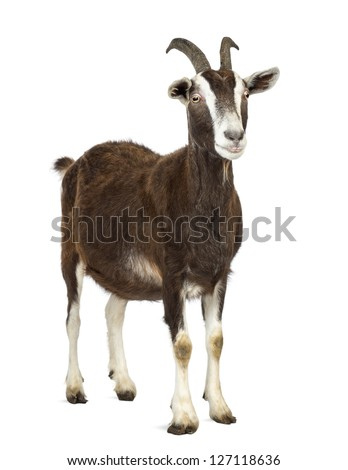 Toggenburg goat looking away against white background - stock photo