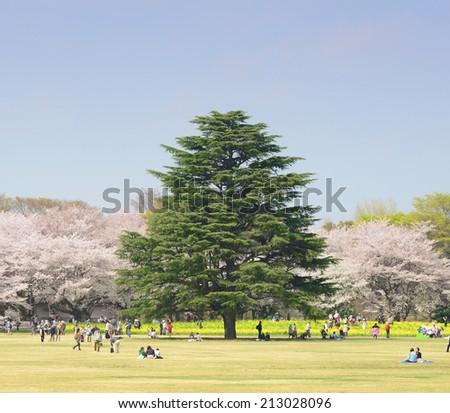 TOKYO,JAPAN - APRIL 9 :  People enjoy Showa Park in spring taken April 9, 2014 in Tokyo. Showa Park is a popular place for enjoy sakura flower in early spring in Tokyo. - stock photo