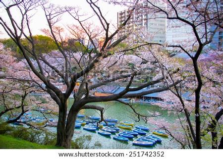 Tokyo, Japan - April 6, 2014: Sakura blossom at Kitanomaru Garden, Tokyo, Japan on April 6, 2014 - stock photo