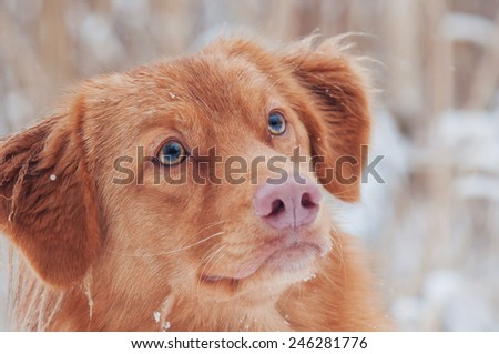 Toller winter portrait