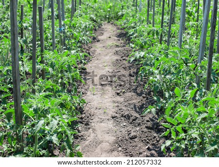 tomato bushes growing in rows, bush tie up on a stick, plant, bush, ripe, - stock photo