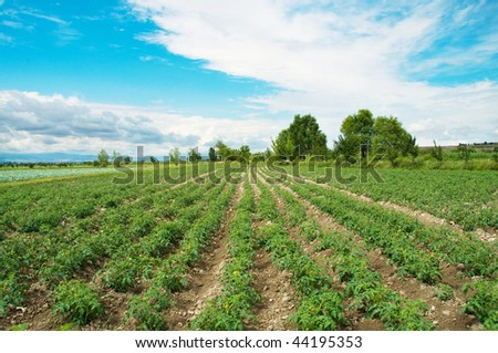 Tomato field on bright summer day - stock photo