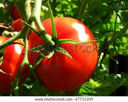Tomato Growing on Plant - stock photo