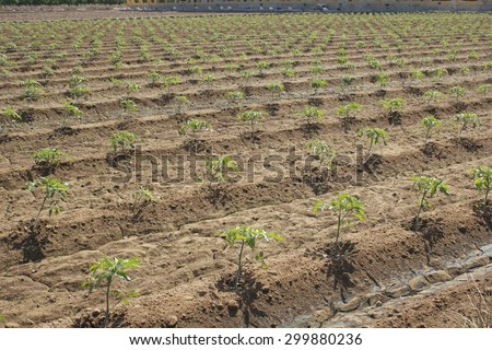 tomato or bean plants crop in greenhouse - stock photo