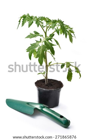 tomato plant in pot with gardening tool on white background - stock photo