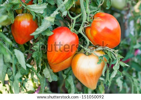 Tomato plant in vegetable garden- stock photo - stock photo