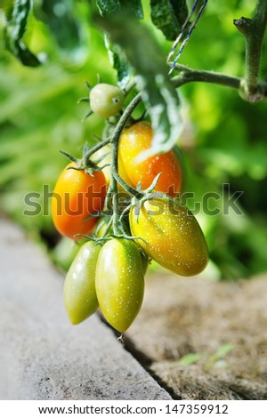 Tomato plant sprayed with protective mixture against infections - stock photo