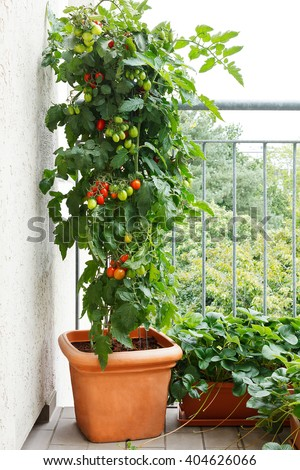 Tomato plant with green and red tomatoes in a pot and strawberry plants with offshoots on a balcony, urban gardening, copy space - stock photo