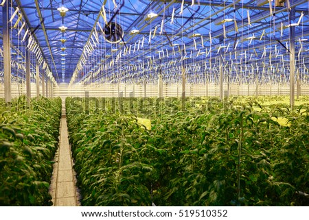 Tomato plantation in greenhouse