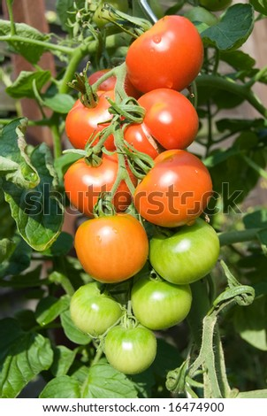 Tomato ripe in the sunlight with some water-drops after the rain - stock photo