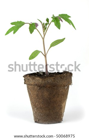 Tomato sapling in peat pot isolated on wihte - stock photo