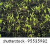 Tomato seedling in greenhouse. Selective focus - stock photo