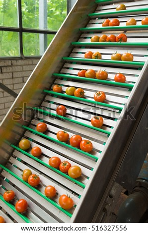tomatoes being transported on a conveyor belt in a commercial greenhouse in the netherlands