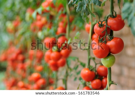 Tomatoes farm - stock photo