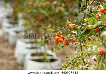 Tomatoes fresh from the farm  - stock photo