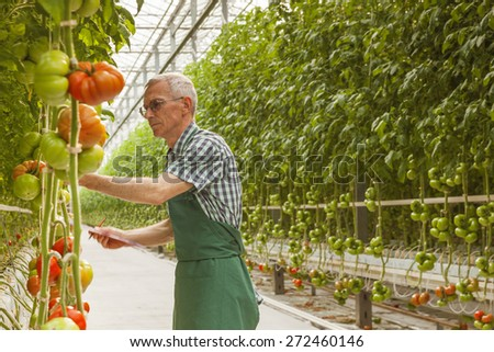 Tomatoes in a Greenhouse - stock photo