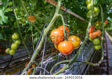 Tomatoes in different colors and stages of growth growing on substrate at tied plants in a large specialized Dutch greenhouse horticulture company. - stock photo