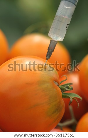 Tomatoes injection.genetically modified foods. - stock photo