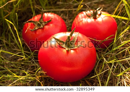 Tomatoes on the grass. The concept of useful and natural foods