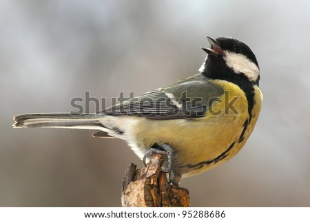 Tomtit (Parus major) on a dry tree stump - stock photo