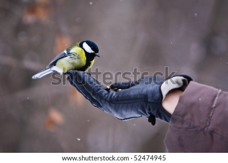 Tomtit (titmouse) in the hand, winter - stock photo
