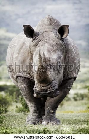 Toned image of a white rhinoceros - stock photo