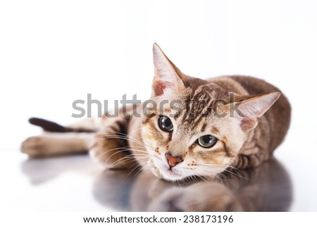 Tonkinese cat , portrait beautiful cat on a white background - stock photo