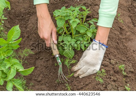 Tool weeding potato furrows in the garden - stock photo