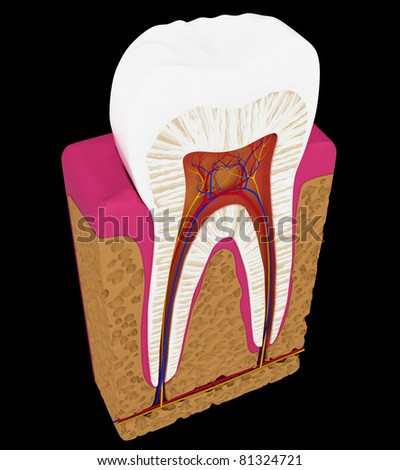 Tooth cut or section isolated over black background - stock photo