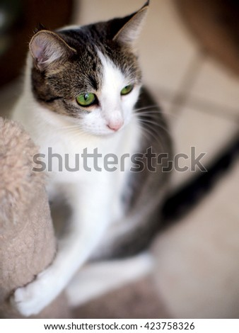 Top Down Angle Shot of Beautiful Bi Color Brown White Tabby Domestic Short Cat with Striking Green Eyes Hugging A Cat Scratcher - stock photo