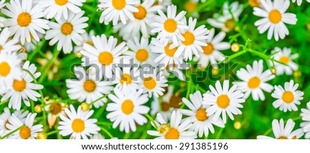 top down beautiful field of green grass and camomiles as background in the nature, panorama  - stock photo