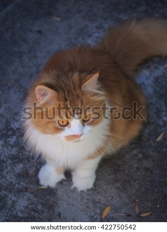 Top Down Color Portrait of Exotic Beautiful Long Hair Bi Color Orange White Traditional Doll Face Persian Cat During Walk Outdoors  - stock photo