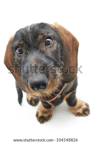 Top frontal view of Dachshund cross dog - stock photo