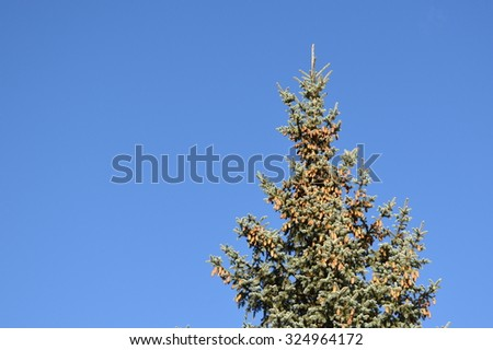 Top of a fir tree with cones with clear blue sky on the background - stock photo