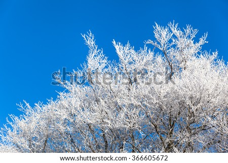 Top of icy bald deciduous trees with white branches in winter in front of the blue cloudless sky/Winter Treetops - stock photo