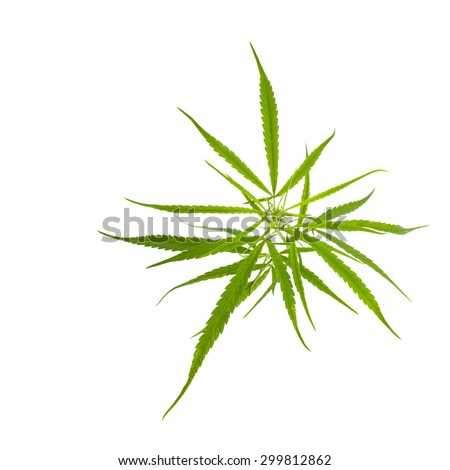 Top of marijuana leaf on white background .Narcotic plants. image for design of social advertising - stock photo